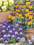 Viola cornuta mix F-470