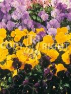 Viola cornuta mix F-502