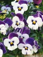 Viola cornuta bicolore F-532