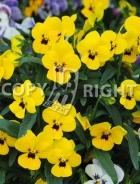 Viola cornuta gialla F-533