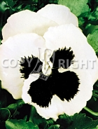 Viola del pensiero gigante svizzera bianca con occhio F-227