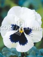 Viola del pensiero gigante svizzera bianca con occhio F-461