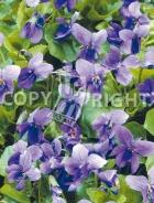 Viola mammola F-471