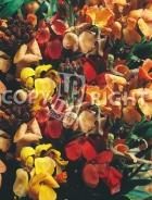 Violaciocca quarantina semplice mix F-240