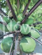 Papaya N0702541