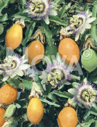 Passiflora N0700193