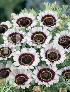 Crisantemo carinato lovely eyes N1511673