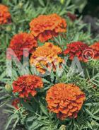 Tagete nano doppio arancio N1520703