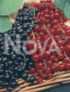 Ribes miscuglio U01145