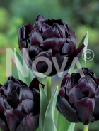 Tulipano doppio nero N1905666