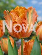 Tulipano pappagallo arancio 78 20 13