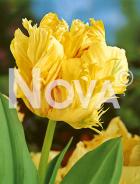 Tulipano pappagallo giallo 78 22 02