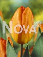 Tulipano semplice arancio G4900639