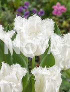 Tulipano crispa bianco N1904856