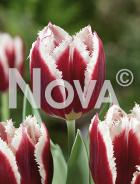 Tulipano crispa rosso-bianco N1906399