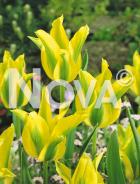 Tulipano viridiflora giallo 78 73 00