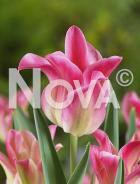 Tulipano viridiflora rosa N1906763