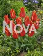 Tulipano Lily rosso N1906643