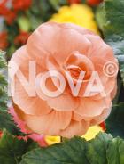 Begonia doppia rosa 80 67 47