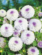 Dahlia pompon bianca-lilla 81 35 08
