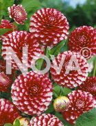 Dahlia pompon rossa-bianca 81 35 02