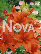 Lilium asiatico arancio G4900319