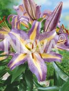 Lilium orientale giallo-lilla N1900438