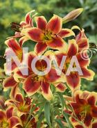 Lilium orientale giallo-rosso N1905282