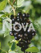 Ribes nero N0700257