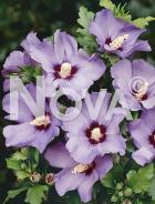 Hibiscus syriacus 03 53 01