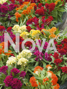 Celosia cresta di gallo mix N1522536