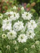 Nigella di damasco bianca N1515795
