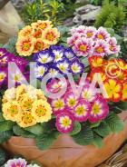 Primula dei giardini mix N0907128