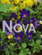 Viola cornuta blu 93 28 10
