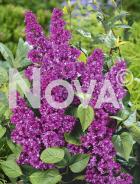 Syringa vulgaris 08 48 50