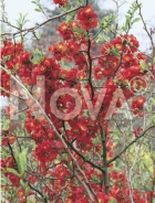 Chaenomeles speciosa N0112325