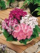 Cineraria grandiflora mix N1200819