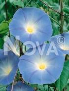 Ipomea grandiflora blu 91 65 01