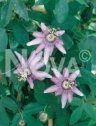 Passiflora 127908