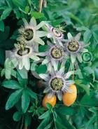 Passiflora 127909