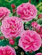 Rose inglesi RS-182