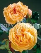 Rose inglesi RS-183