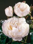 Rose inglesi RS-184