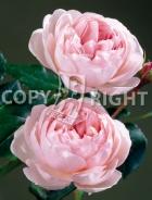 Rose inglesi RS-185
