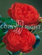 Rose inglesi RS-186