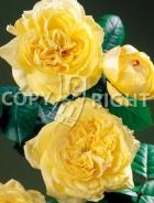 Rose inglesi RS-188