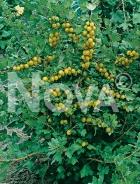 Uva spina bianca 166030