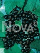 Ribes nero 165003