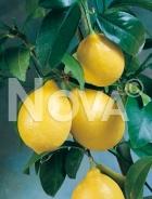 Limone 179105