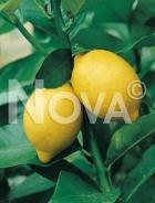 Limone 179100